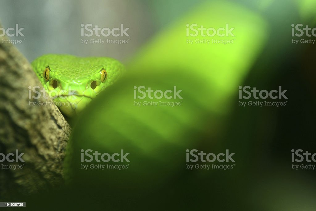 Green Tree Python  Snake looking at camera stock photo