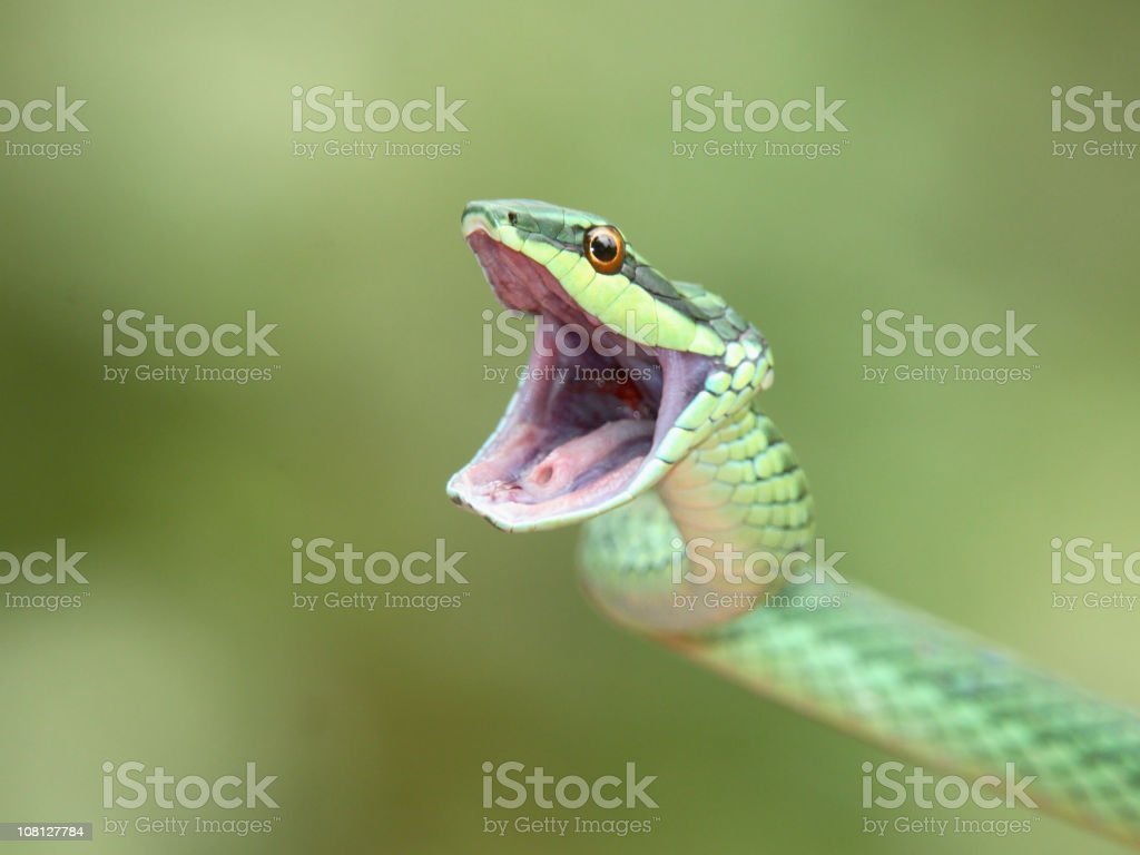 Green Tree Snake Opening Mouth royalty-free stock photo