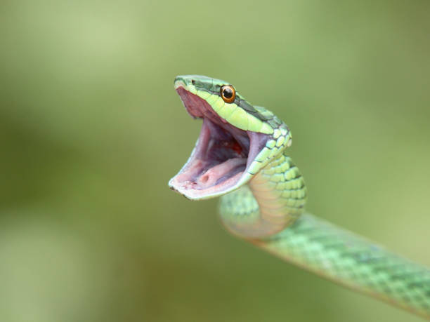 Green Tree Snake Opening Mouth stock photo