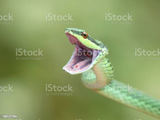 Green Tree Snake Opening Mouth