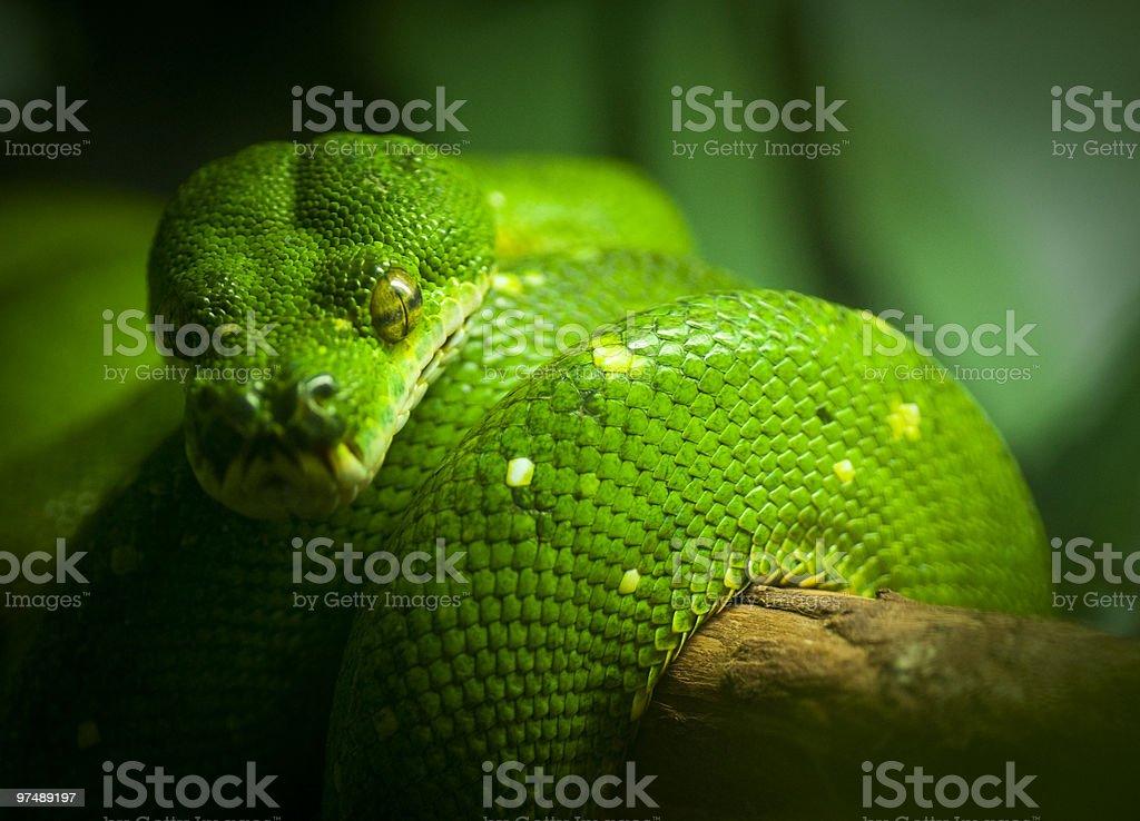 Green Tree Snake royalty-free stock photo