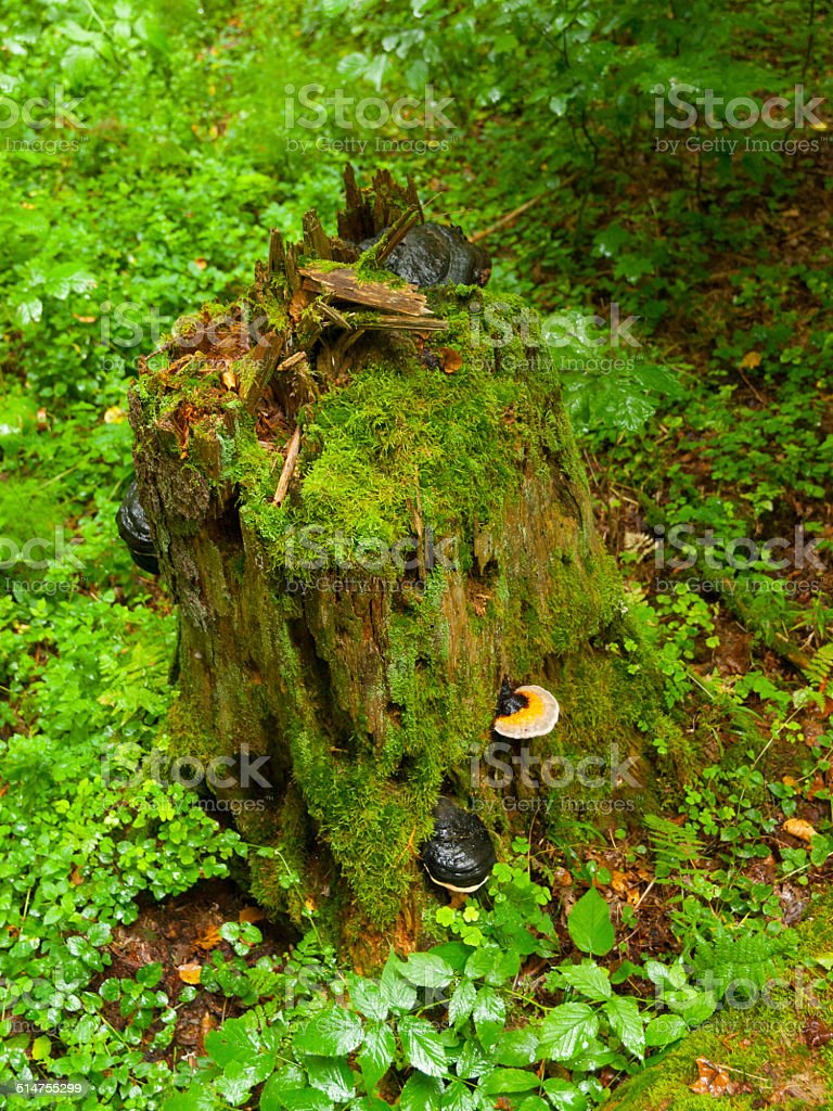 Green tree stump with mushrooms stock photo