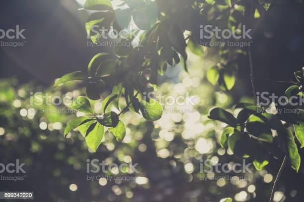 Green tree vintage soft light with blur bokeh background picture id899342220?b=1&k=6&m=899342220&s=612x612&h=lbvmihxqysglpyckqqxo9begpshfuxu3f3rs6vgh6ok=