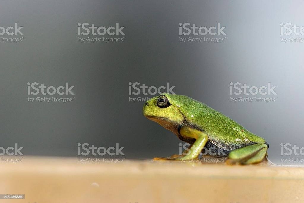 Green Treefrog stock photo