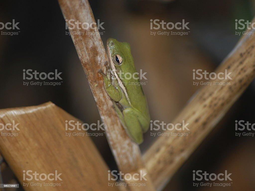 Green treefrog royalty-free stock photo
