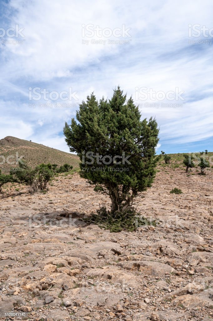 Green trees in the middle of the stone desert of the Atlas mountain range in Morocco stock photo