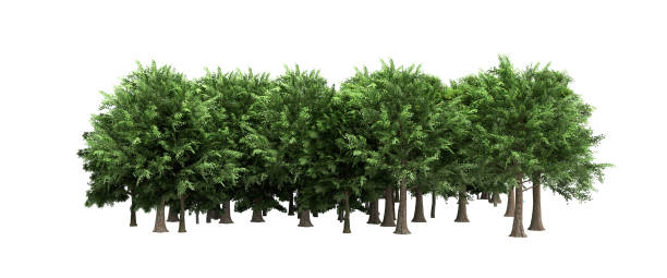 grüne bäume isoliert auf weißem hintergrund kein schatten wald und laub im sommer 3d rendern - baumgruppe stock-fotos und bilder