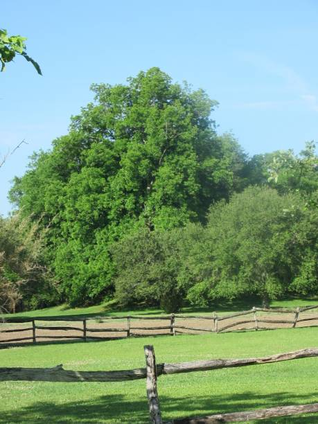 Green Trees with Rustic Wood Fence stock photo