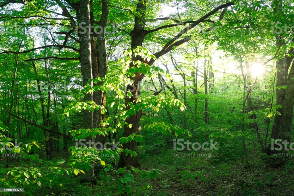 green trees with young bright foliage in thickets of dense forest in Adygea stock photo