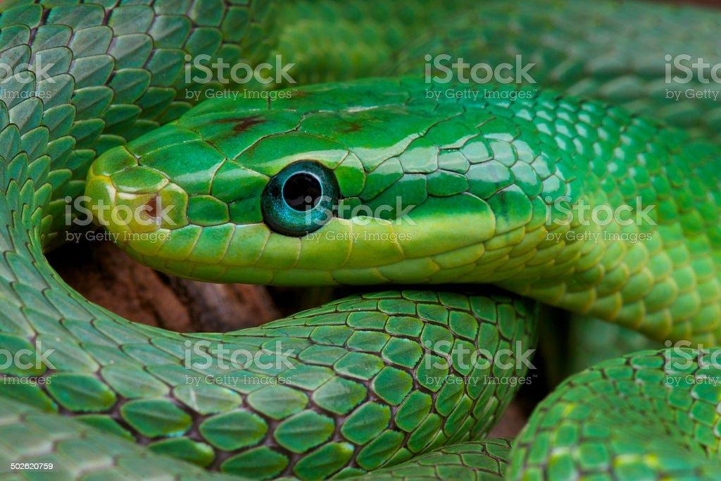 Green trinket snake / Rhadinophis prasinus stock photo