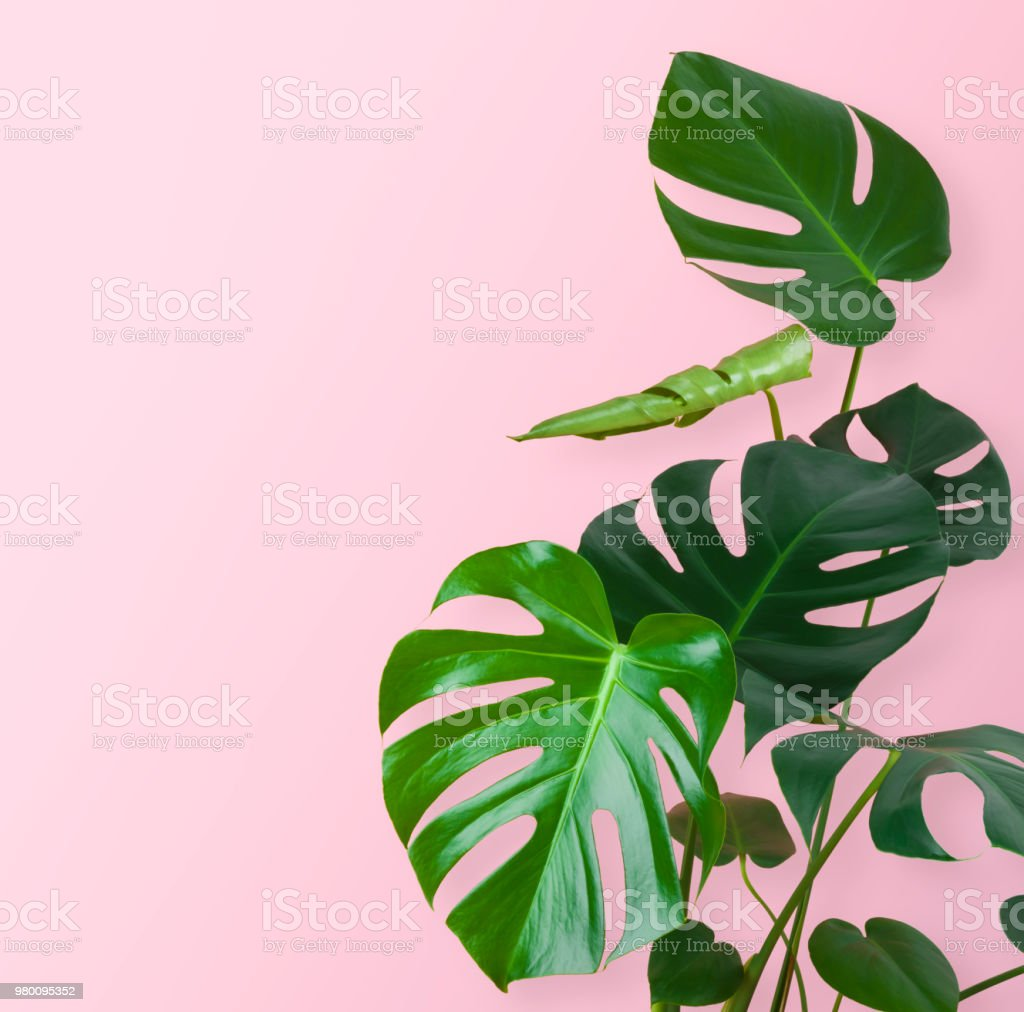 Green tropical plant stem and leaves isolated on pink background stock photo