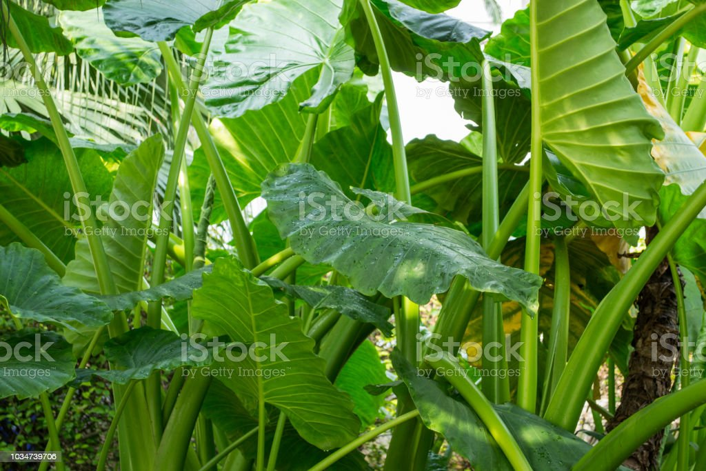 Plantes tropicales vertes, Alocasia Odora - Photo