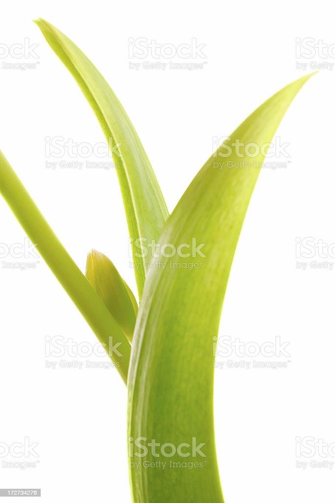 green tulip leaf on white background stock photo