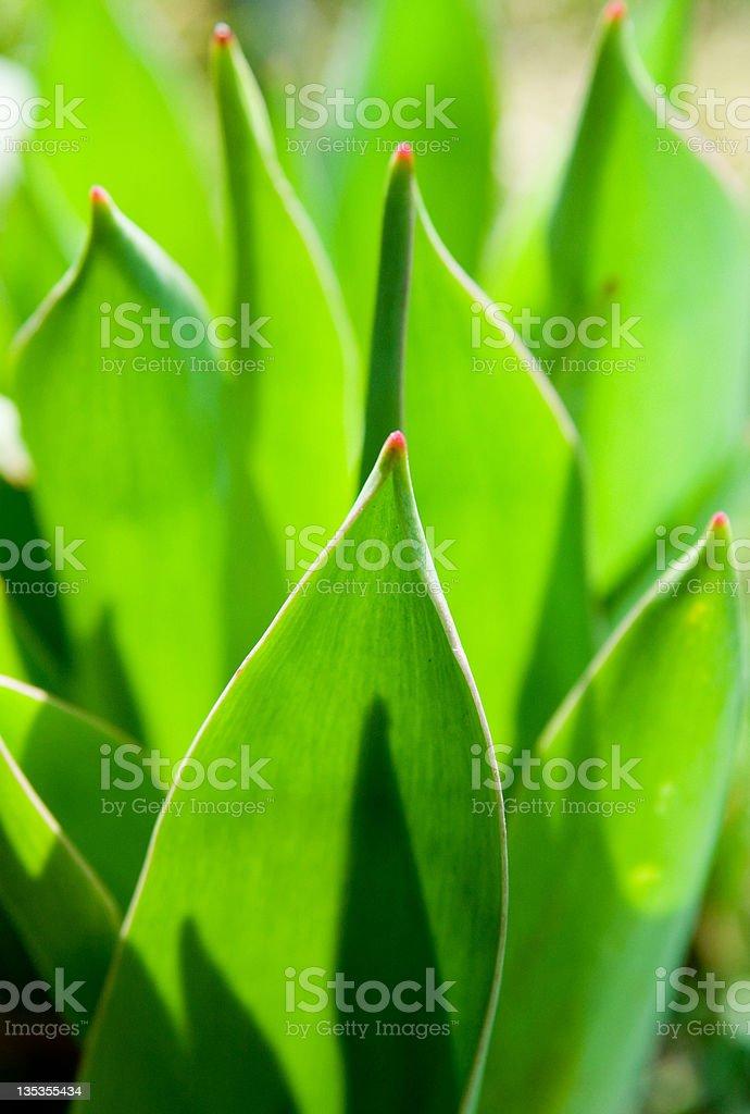 green Tulpe Blätter – Foto