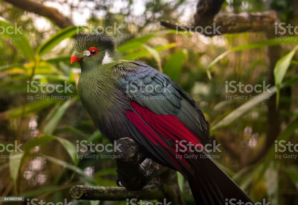 Green turaco stock photo