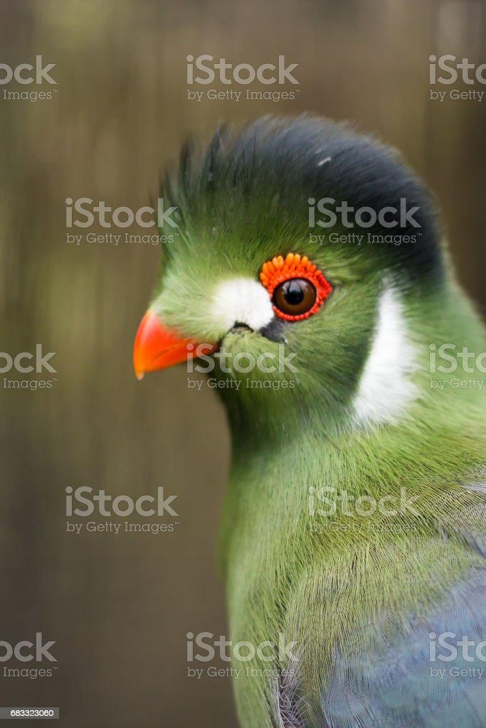 Green Turaco royalty free stockfoto