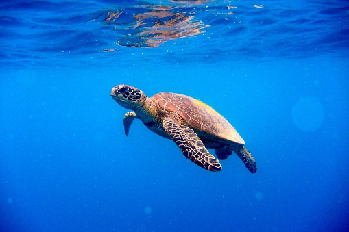 Green turtle (Chelonia mynas) approaching water surface in blue water with reflection.