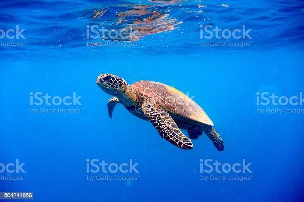 Green turtle approaching water surface picture id504241856?b=1&k=6&m=504241856&s=612x612&h=cv0vqaijmbr2z2ggjrmdl4gdgtlszkxil5mcxl5ucc8=