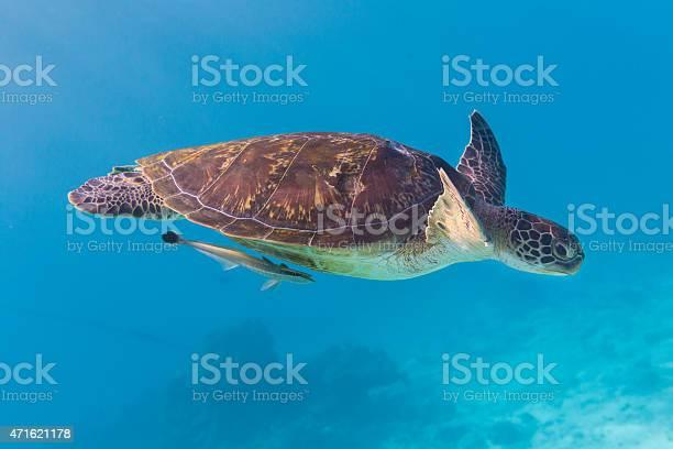 Green turtle at similan island thailand picture id471621178?b=1&k=6&m=471621178&s=612x612&h=zd7w5srdy2hkgcnsn0fntefdph5agxc5 kn7icauuf8=