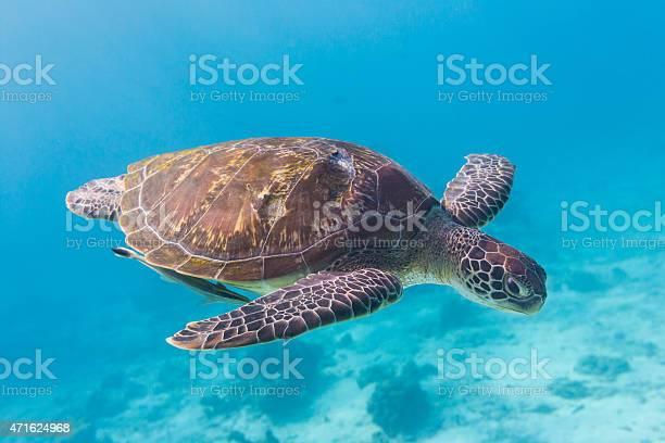 Green turtle at similan island thailand picture id471624968?b=1&k=6&m=471624968&s=612x612&h=svi buucacxgykl l0awgfct4pssuqb qmj95stnv 4=