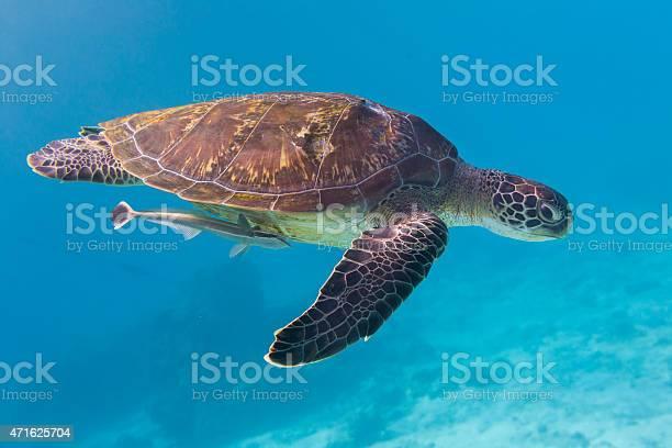 Green turtle at similan island thailand picture id471625704?b=1&k=6&m=471625704&s=612x612&h=kpoalsbmxlquuow9ormo9dyuatniurwjzoelj6w2b4i=
