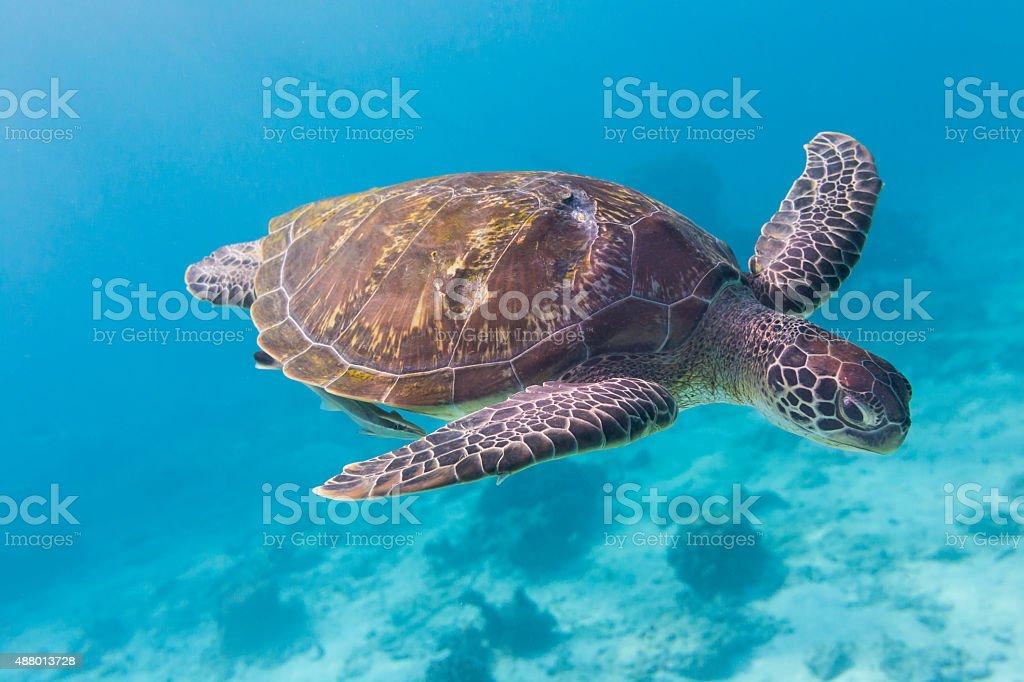 Green Turtle (Chelonia mydas) at Similan island, Thailand stock photo