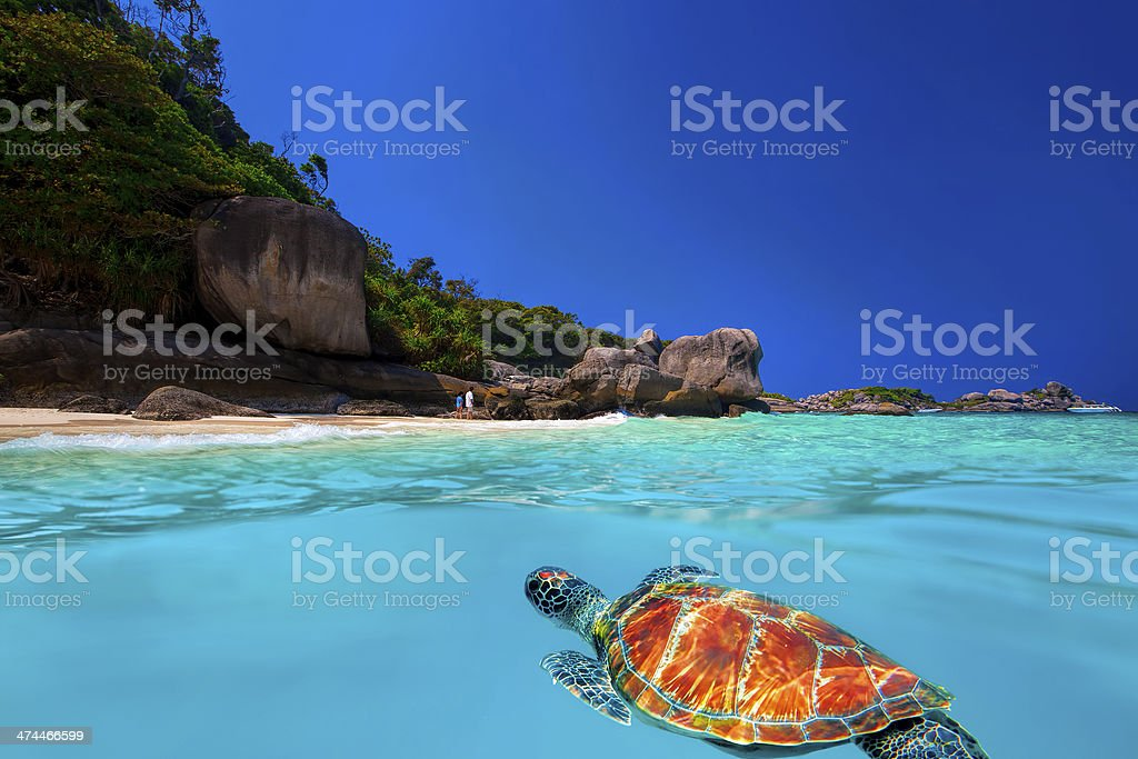 Green Turtle at Similan Islands stock photo