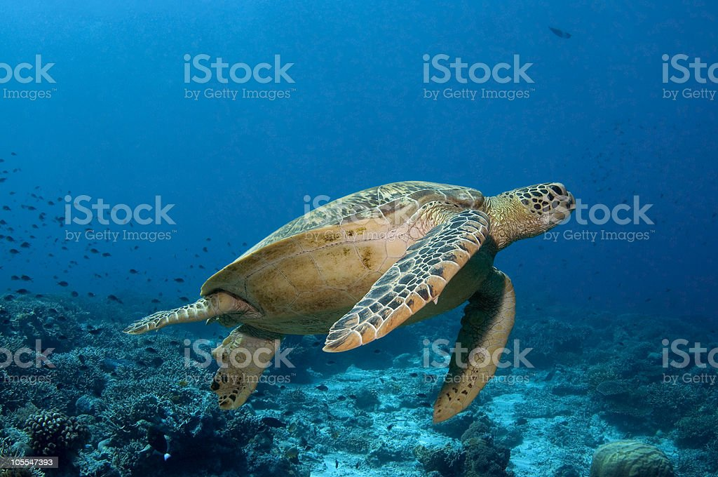 Green Turtle At Sipadan royalty-free stock photo