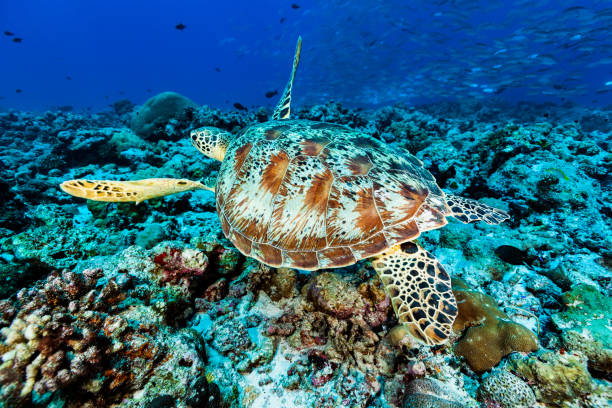 Green Turtle Chelonia mydas at Blue Corner, Famous Dive Site of Palau, MIcronesia stock photo