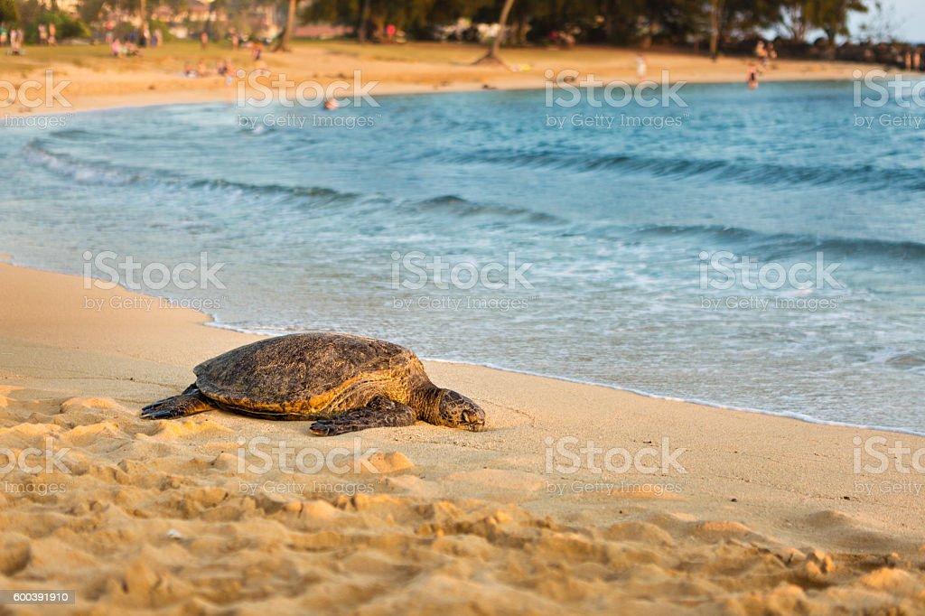Green Turtle Climbing Up the Beach in Kauai Hawaii stock photo