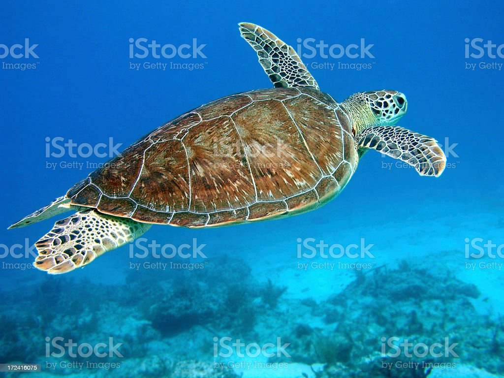 Green Turtle Flying stock photo