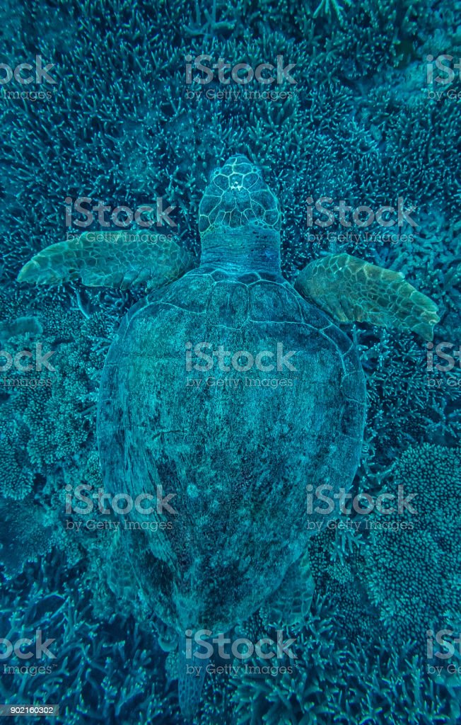 Green Turtle hidden in Coral stock photo