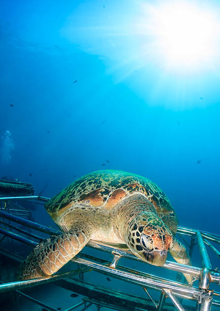 green turtle illuminated by a tropical sun - artificial reef stock pictures, royalty-free photos & images