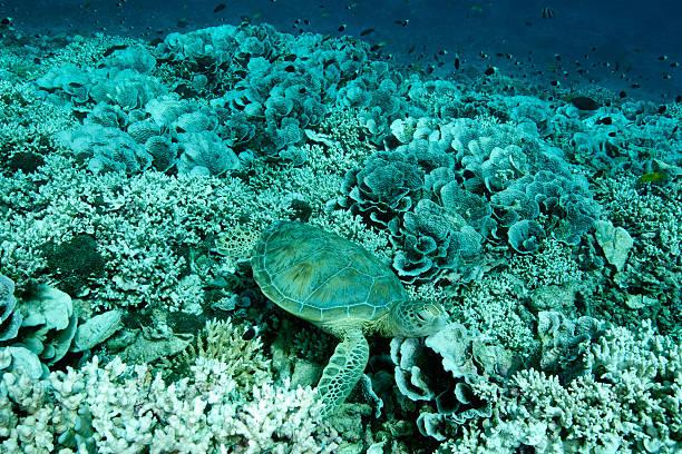 grün schildkröte in gebleichtem korallen - die toteninsel stock-fotos und bilder