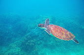 Green turtle in tropic lagoon underwater photo. Sea turtle closeup. Oceanic animal in wild nature. Summer vacation activity. Snorkeling or diving banner template. Tropical seashore with sea tortoise