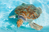 Green turtle in turquoise water. Close-up.
