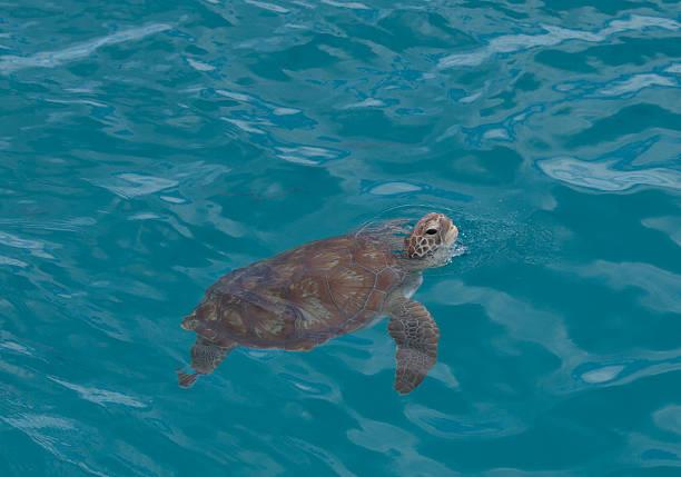 Grüne Schildkröte vor der Küste in Barabados – Foto