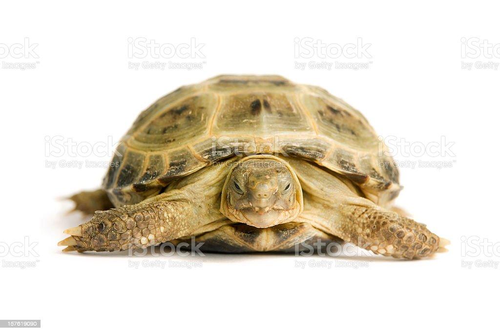 Зеленая черепаха на белом стоковое фото