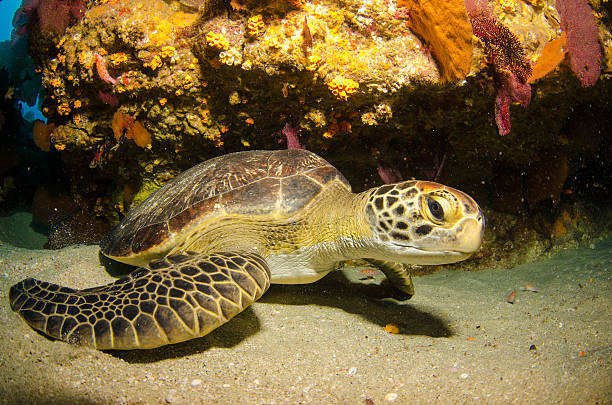 green turtle - leatherback stockfoto's en -beelden