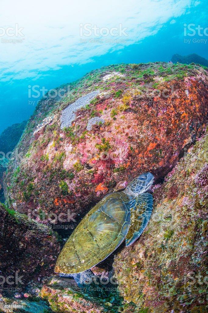 Green Tortue  photo libre de droits