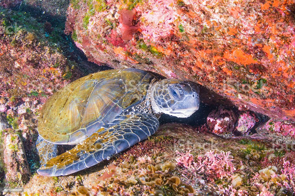 Green Tortue  photo libre de droits