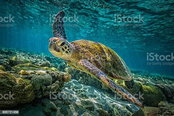 Green turtle picture id635731456?b=1&k=6&m=635731456&s=612x612&h=rxly6mlhewcm8o pgdvtv8xjjwdoxi5bmnsy3oh3b70=
