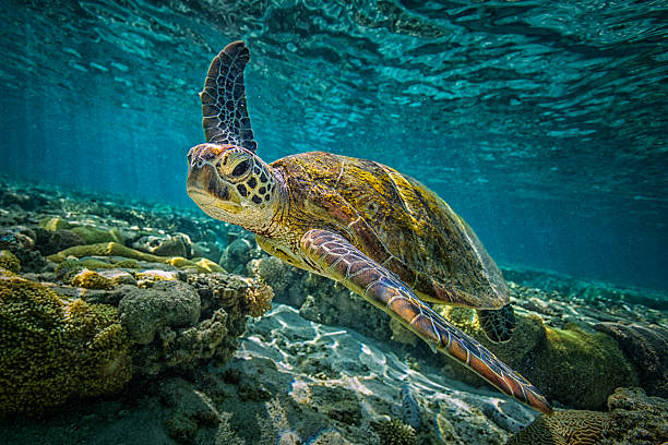 """Green Turtle A green turtle swims through the pristine waters of the Great Barrier Reef in Queensland, Australia wildlife or """"wild animal"""" stock pictures, royalty-free photos & images"""