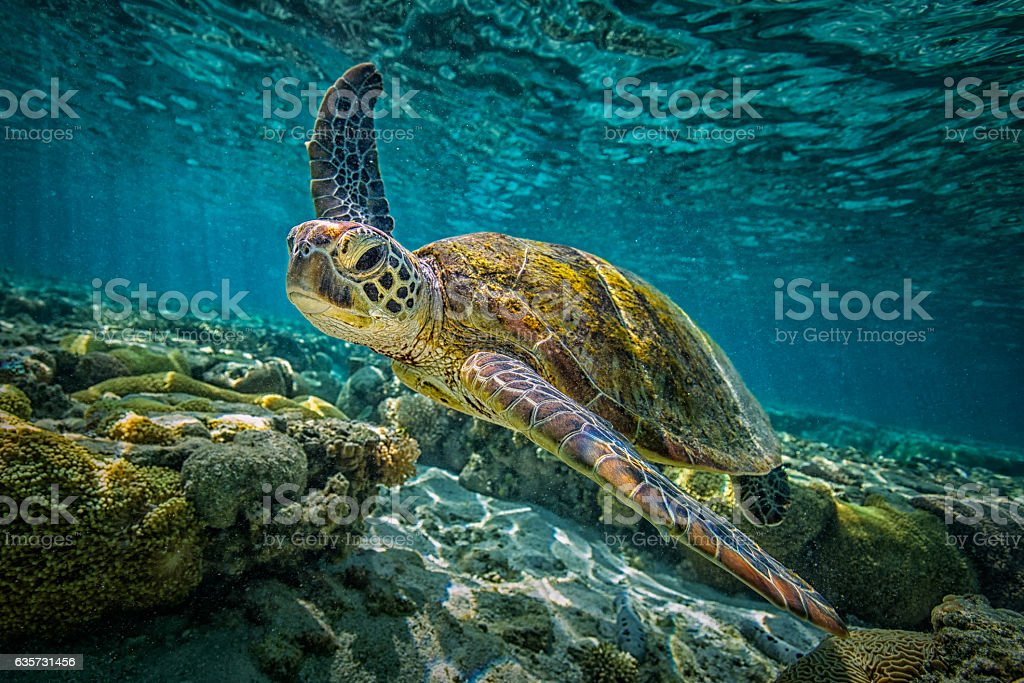 Green Tortue  - Photo