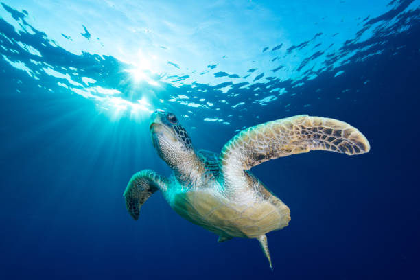 green turtle - pacific islands stock pictures, royalty-free photos & images