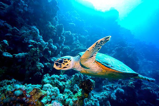 green turtle red sea - leatherback stockfoto's en -beelden