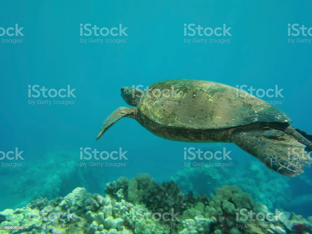 Green turtle shimming above corals in Hawaii stock photo