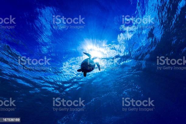 グリーンタートルシルエットでコナハワイ州 - アオウミガメのストックフォトや画像を多数ご用意