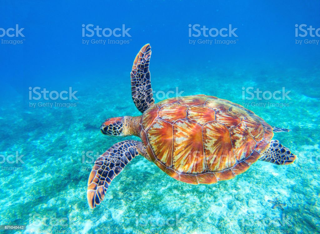 Tortuga verde nadar en agua de mar azul. Esnórquel con tortugas. - foto de stock