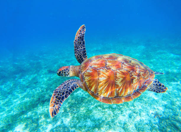 Green turtle swim in blue sea water. Snorkeling with tortoise. stock photo